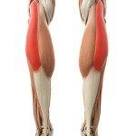 Muskeln und Faszien der Achillessehne