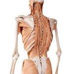 tiefe Rückenmuskulatur und tiefe Lumbalfaszie