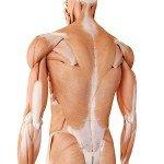 Muskulatur und oberflächliche Rückenfaszie